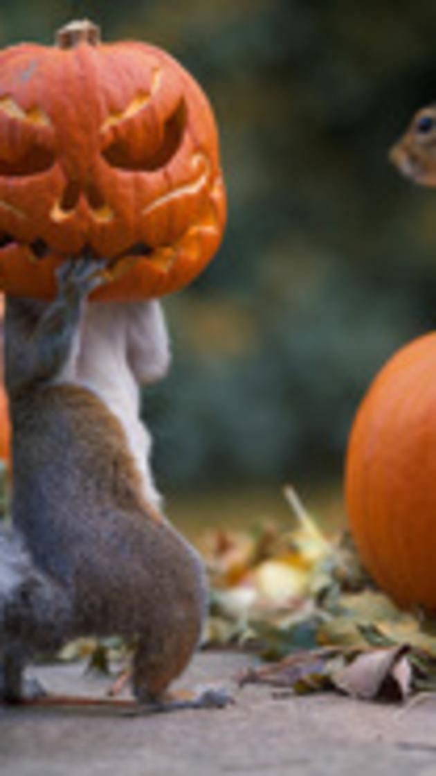 Photograph of a squirrel that got it's head stuck in a jack-o-'lantern carved into a miniature pumpkin in the backyard of Max Ellis, from Teddington, London. Caters News Agency  via @AOL_Lifestyle Read more: http://www.aol.com/article/2014/10/31/take-look-at-31-awesome-photos-from-october-2014/20986890/?a_dgi=aolshare_pinterest#fullscreen