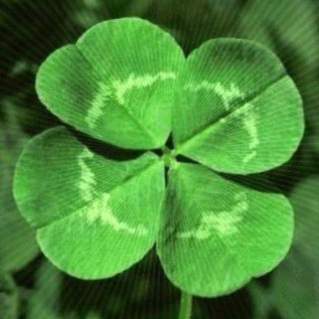 Oxalis aka shamrock plant there is a cool one called iron cross that has a dark spot near the - Shamrock houseplant ...