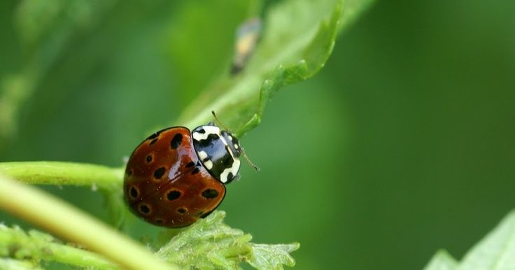 Coccinelle-ocellee-d-Europe-Anatis-ocellata-Eyed-ladybird