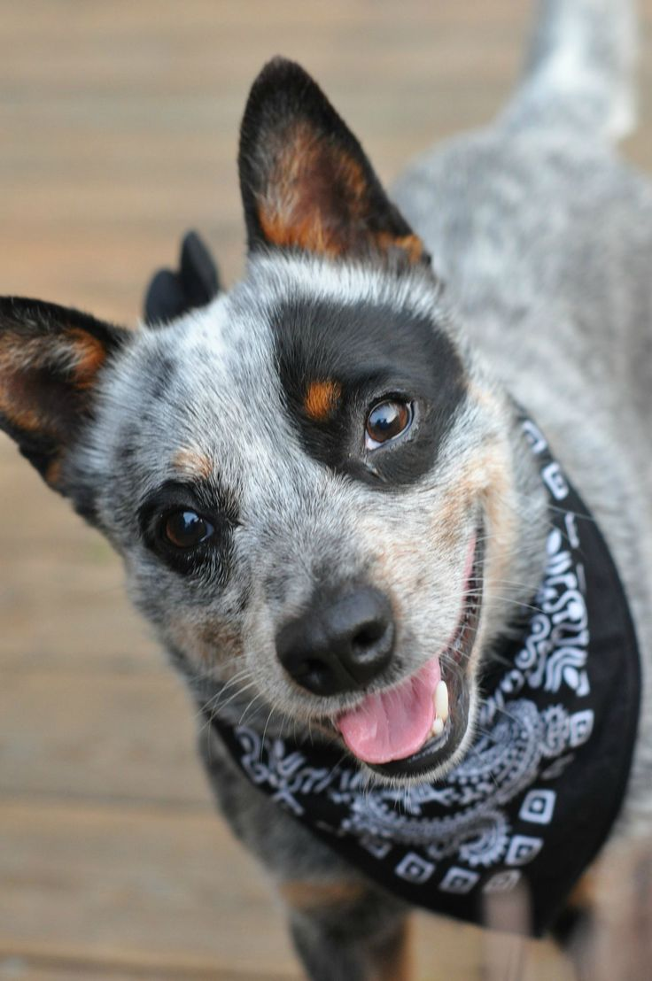 Northeast ohio blue heeler dogs puppies for sale ebay180 - Australian cattle dog aaron wants a blue heeler so bad he cant stand it wish we were aloud to have one