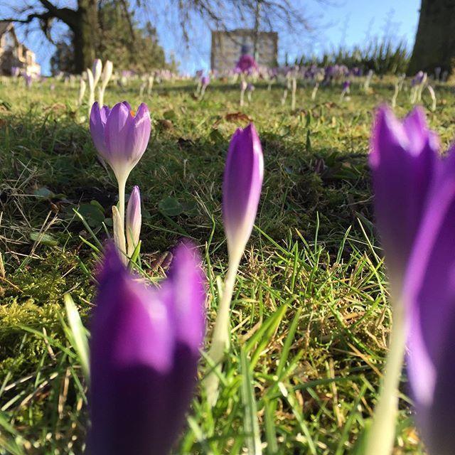 Wiosna nadchodzi  nowe pomysły się rodzą ! Bądźcie czujni !  #wiosna #ideas #work #rudamama #krokusy #aberdeen #plakat