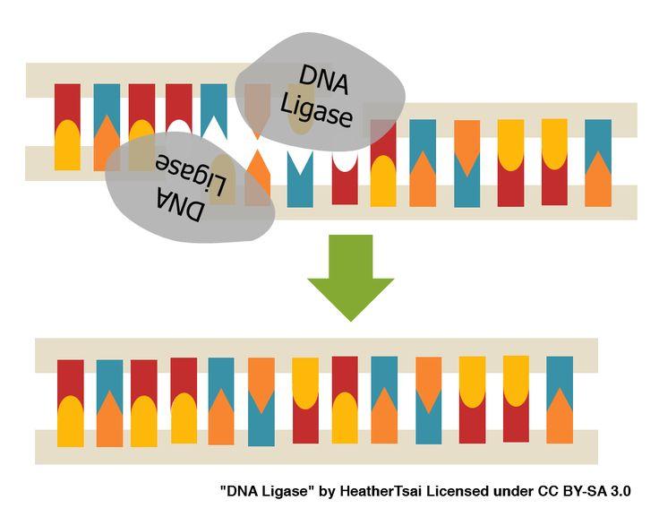 DNA Ligase - Building a Bridge with DNA