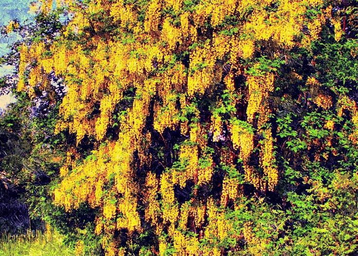 Hedeland: Guldregn i blomst på Dopperne