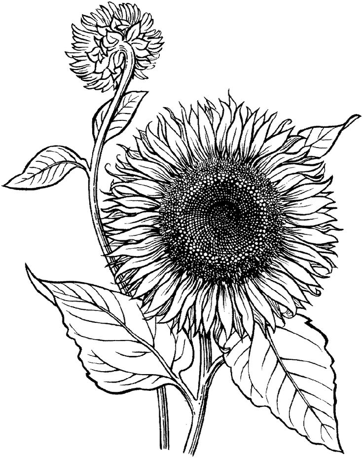 Realistic Sunflower Coloring Page | Educative Printable ...