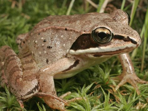 north american wood frog - Google Search [[I'm going to start calling it the cryostasis frog, because it sleeps, frozen solid for months on end and then wakes up in spring, perfectly fine]] amazing animal