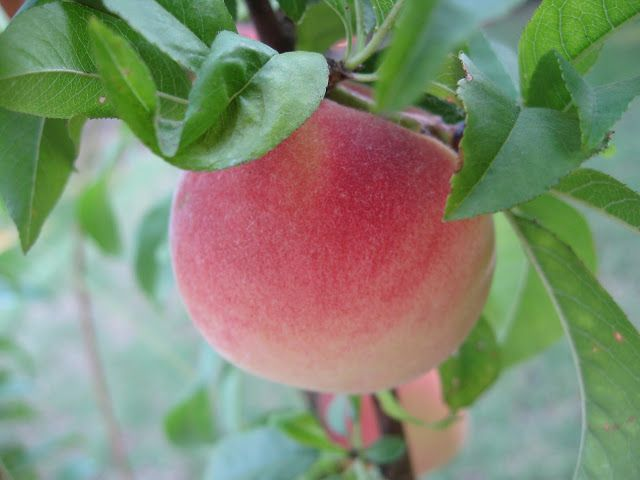 Sweet life garden tropic snow the white peach for Peach tree designs