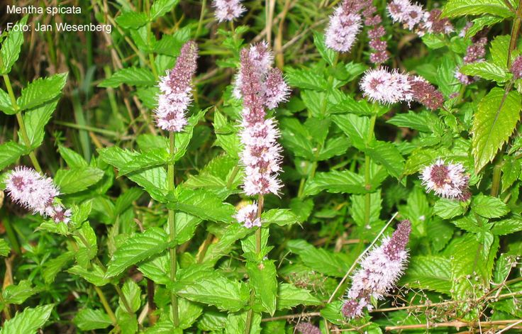 Spearmint Oil, Some Uses