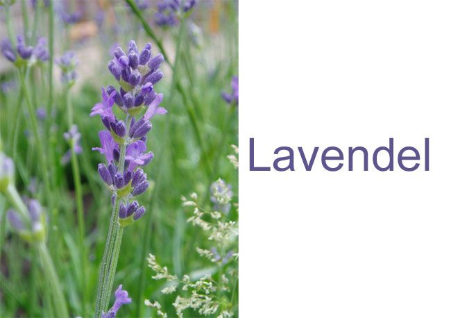 Lavendelsirup og ananassalviesirup