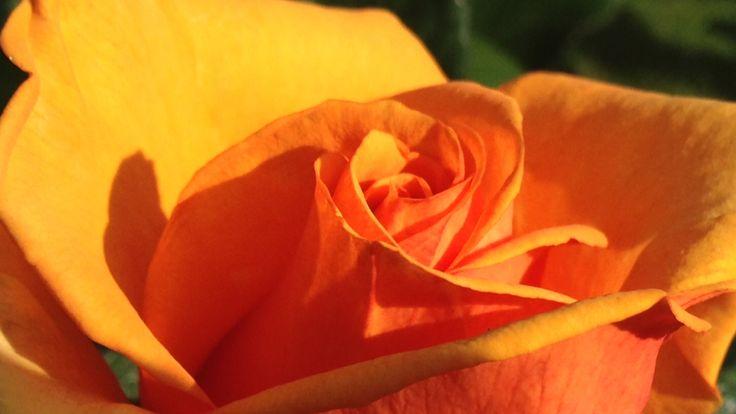 Queens' roses