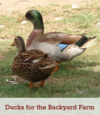 Ducks for the Backyard Farm - Best Breeds for the small homestead