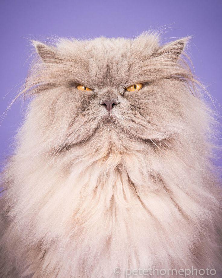 Картинки толстые кошки, нарисованные