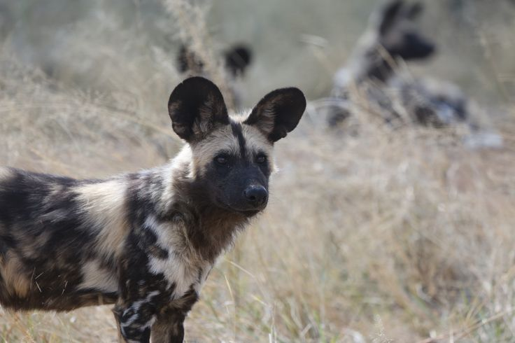 I kinda like the idea of a profile of a wild dog with its head raised, alert. The ears are so iconic. But I think a running wild dog would look better given the location of the tattoo