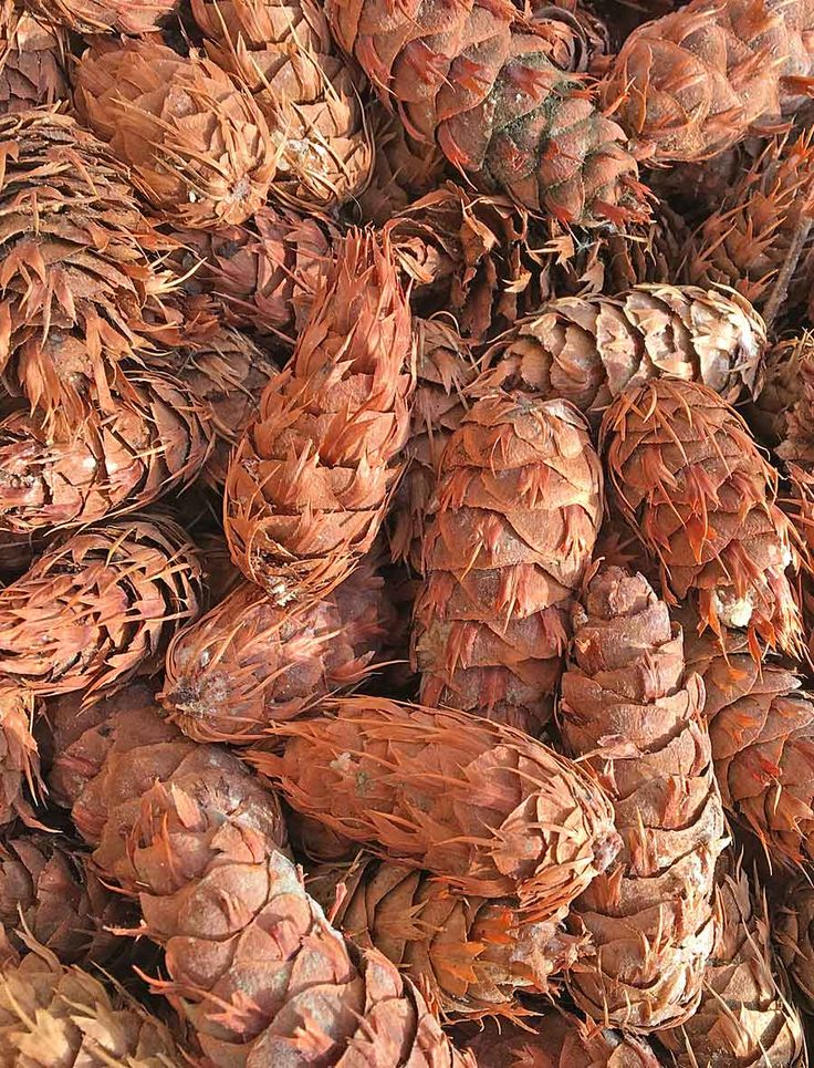 Cones with Character, Choose the small Douglas Fir Cones from the great western tree.