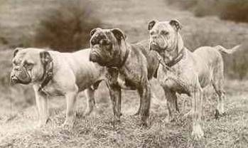 Origin of The Olde English Bulldogge