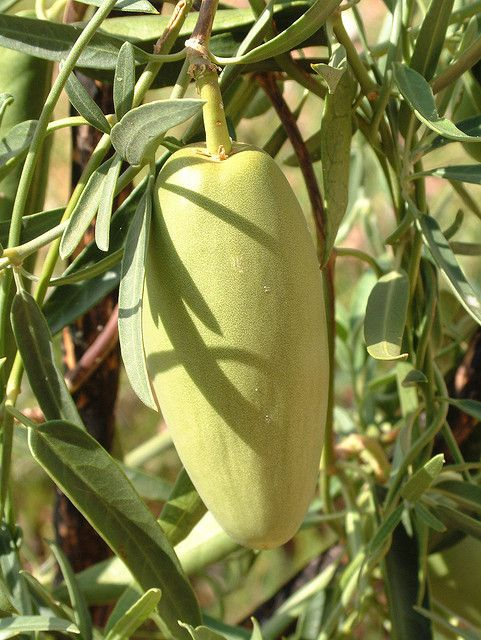 Bush Banana (Marsdenia australis) is an Australian native plant. It is found in Central Australia and throughout Western Australia. It is a bush tucker food for Aborigines
