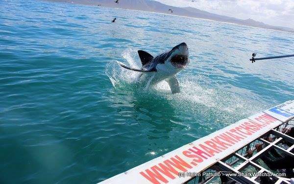 Super excited for #WTMAfrica! Visit us at stand L47 #Hermanus #Whales #Sharks #Penguins #Adventure @SharkWatchSA