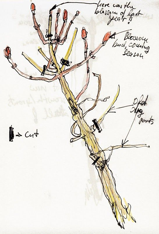 Illustrated diagram showing how to prune hydrangeas #garden #gardening #hydrangea