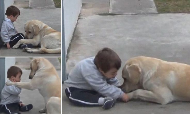 Heart-warming moment gentle labrador Himalaya coaxes reluctant Down's Syndrome boy who shuns human contact to play with thim