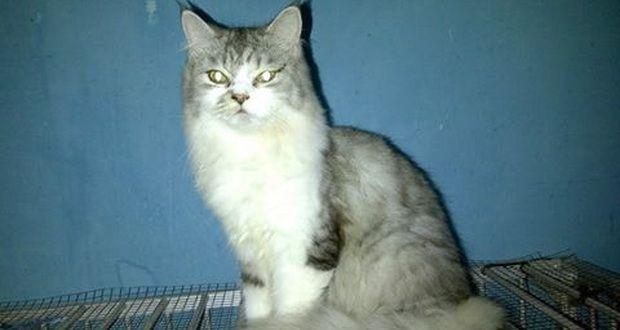 Jual Kucing Persia Murah   Tazesiru Cat's House  Jual Kucing Persia Murah - Anda ingin memelihara kucing persia? tapi cari harga kucing persia yang murah dan terjangkau, kunjungi terus www.tazesirucats.com Untuk Cek ketersedian kucing yang dijual