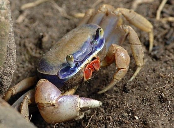 Mangrove Crabs are considered keystone species for many reasons: they are very important in stabilizing the ecosystem.