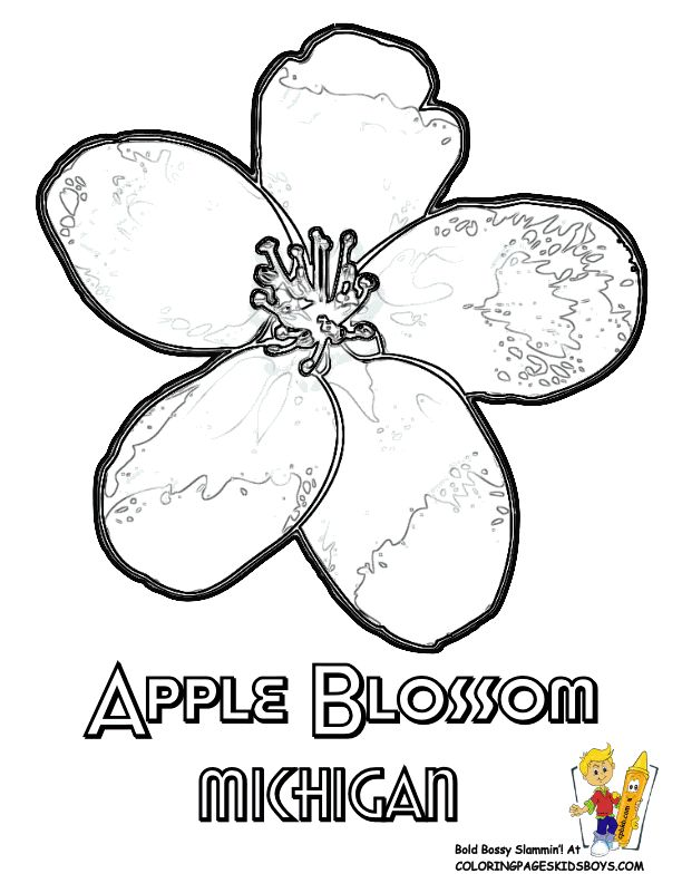 apple blossom coloring page - 251 best images about usa coloring pages on pinterest
