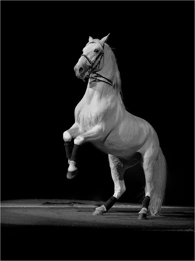 Lipizzaner stallion