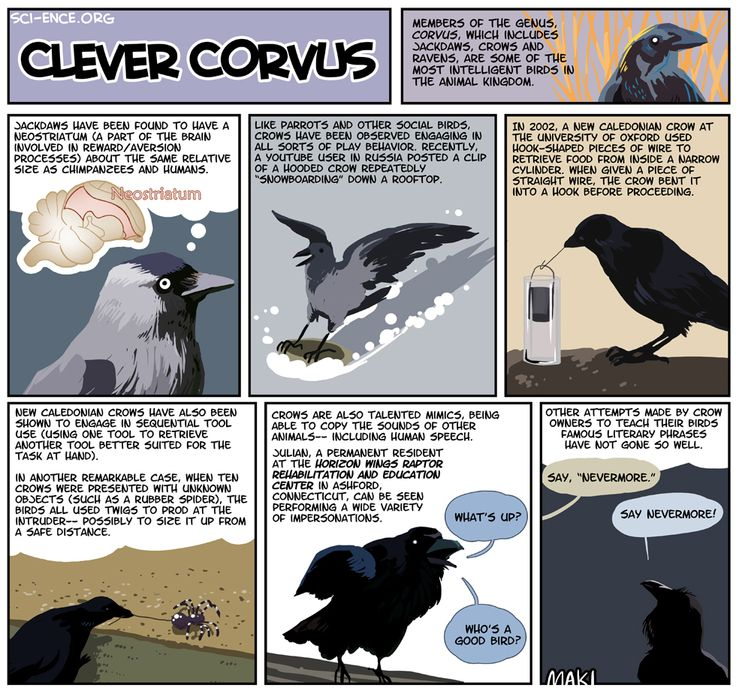 Great videos and facts about corvids. #corvids: Crows Ravens, Corvus Corax, Crows Closed, Ravens Blackbirds, Crow Fyi, Occasional Crow, Clever Corvus, Science
