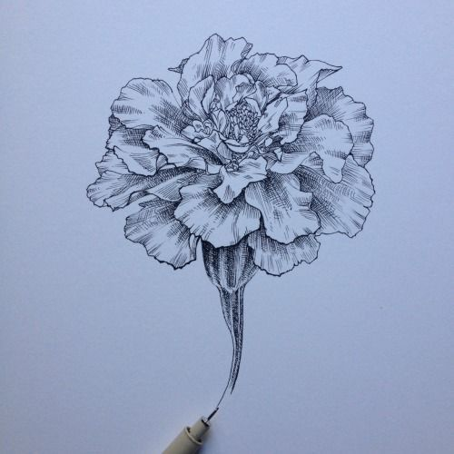 Marigold Flower Line Drawing : Image gallery marigold sketch