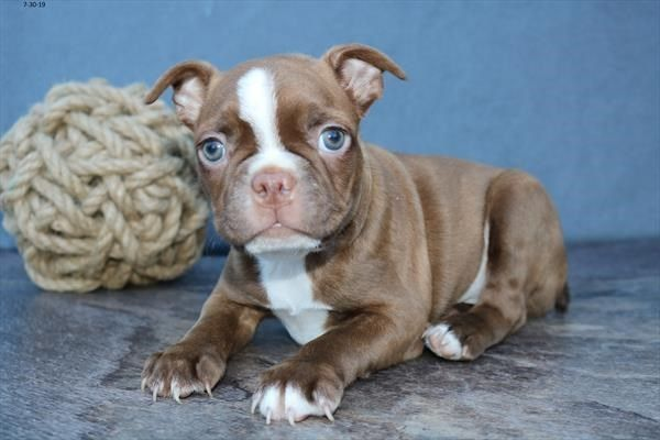 Petland Kansas City Has Boston Terrier Puppies For Sale Check Out