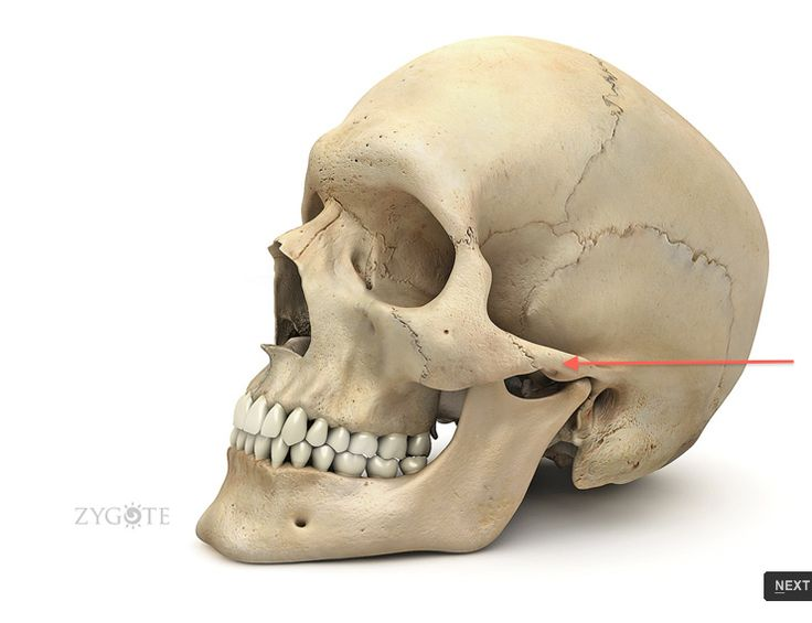zygomatic process of the temporal bone zygomatic arch | anatomy, Human Body