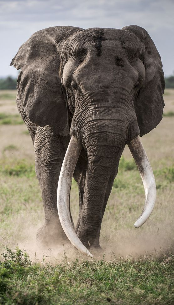 """Gentle Giant"" by Sushmitha Reddy: Amboseli National Park is famous for the majestic African elephants. I got lucky when this massive bull came close to our vehicle on one of our game drives."