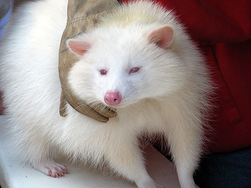 24 best images on pinterest raccoons albino and