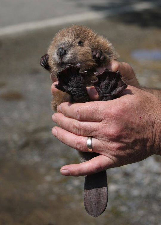 Baby Beaver...in case you haven't seen something adorable today.