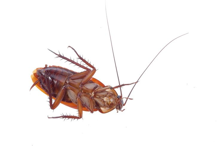 the 25 best german cockroach ideas on pinterest roaches how to kill cockroaches and killing. Black Bedroom Furniture Sets. Home Design Ideas