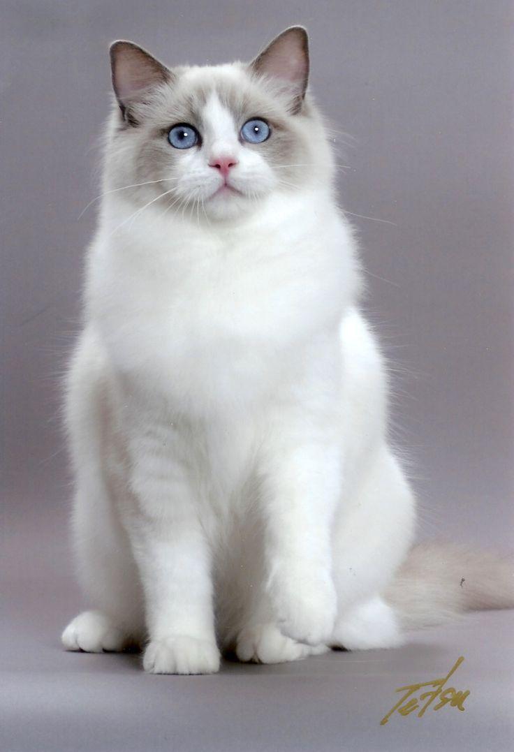 ブルーの瞳に吸い込まれそう!! 美しいラグドールの画像集