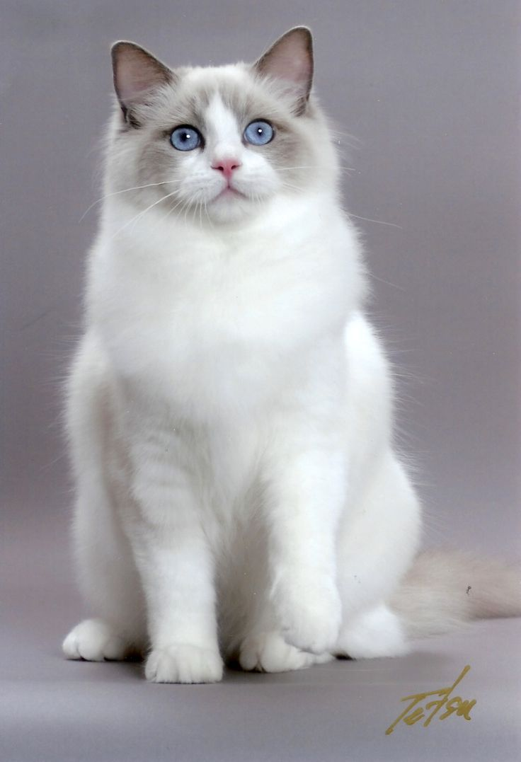 Ragdoll cat is a cat breed with blue eyes and a distinct