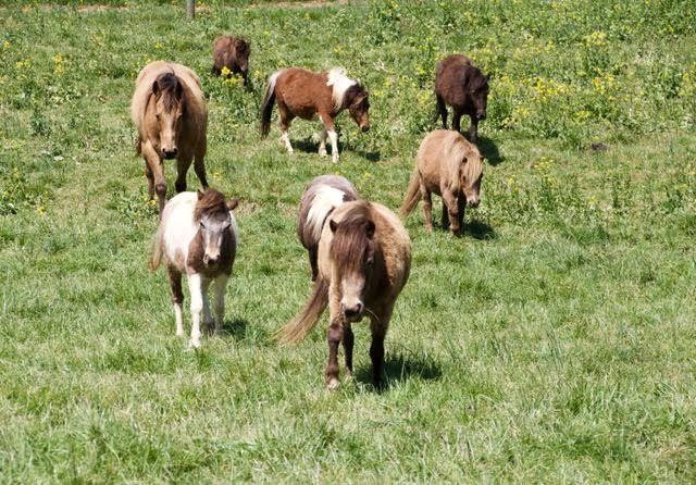 #mini #ponies #horse #madisonfields #farmlife #herd