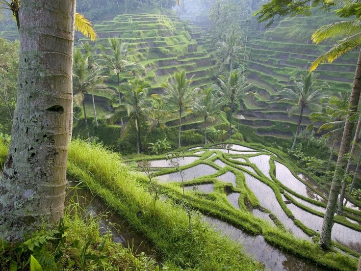 Terraced Rice Paddies Ubud Area Bali Indonesia 800x600