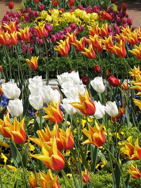 Tulips in Topkapi gardens, Istanbul