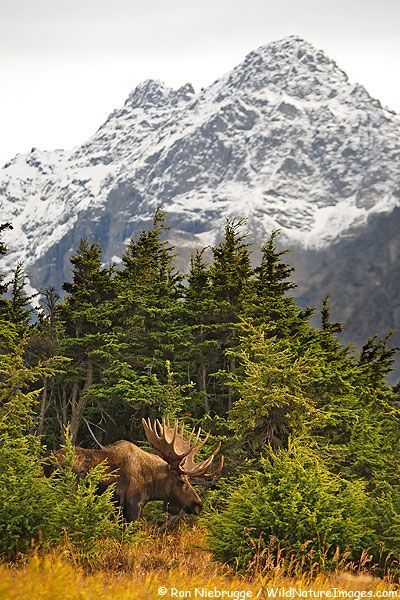Bull Moose (Alces alces) during the Fall rut with the Chugach Mountains, Alaska.