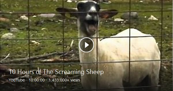 Funny Screaming Goats *Very Loud* - YouTube  Mom Screaming Goats Funny
