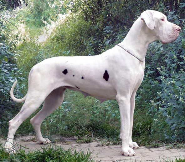 17 Best images about great Dane on Pinterest | Hercules ...