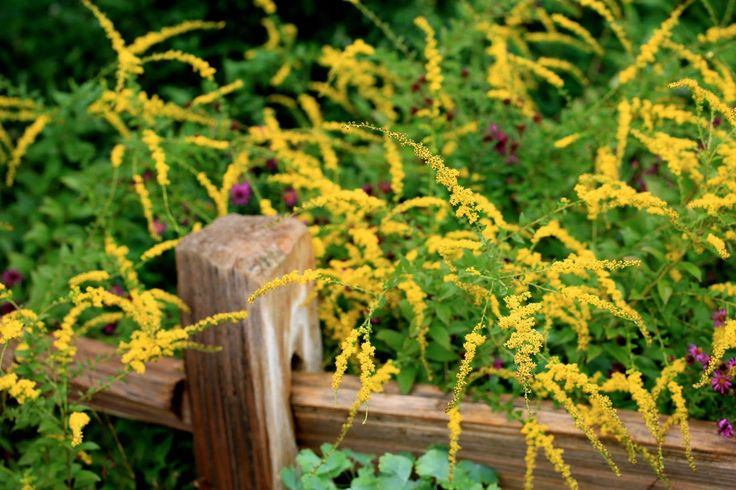 Goldenrod leaves and flowers make a tasty medicinal tea, and are also prepared as a tincture and honey infusion.Goldenrod effectively clears the sinuses, making it highly useful in treating allergies, head colds, and sinus infections.