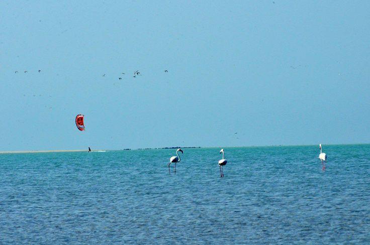 Oman | Kiteboarding with flamingos, Masirah Island. credit: Kiteboarding Oman. view on Fb https://www.facebook.com/SinbadsOmanPocketGuide #oman #traveltooman #sinbad #sinbadpocketguide