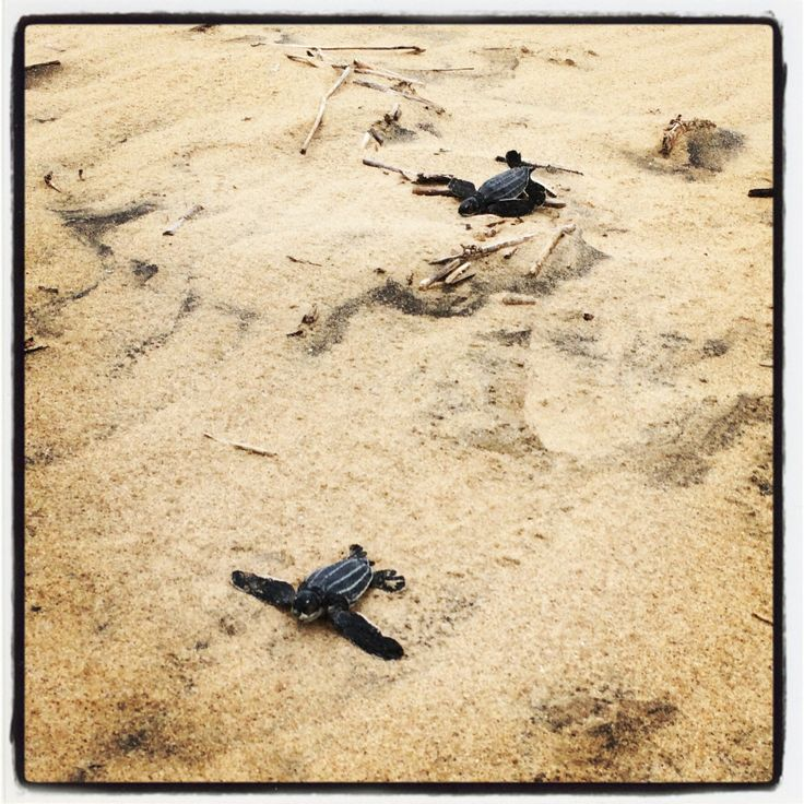 Leatherback hatchlings on the Estuary beach, St Lucia