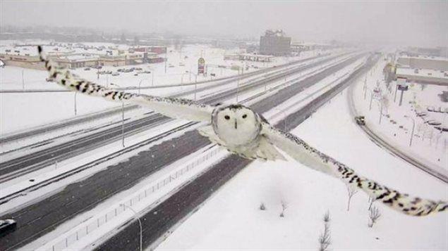 Ce harfang des neiges a été croqué sur le vif par une caméra de surveillance du ministère des Transports.