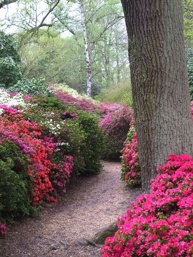 The beautiful Isabella Plantation in Richmond Park Surrey England.