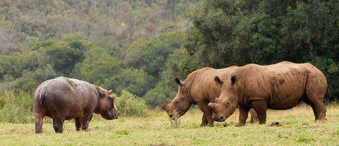 Hippo meets Botlierskop Rhino
