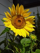Brian  Hanna - Sunflower
