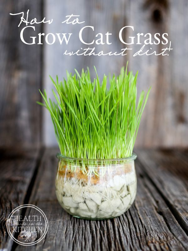 An interesting dirt-free alternative to growing cat grass in your home. Great for kitties that like to make a mess with dirt! No more tipped over pots.